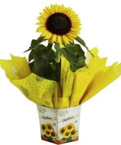 floricultura online e entrega de flores - girassol plantado