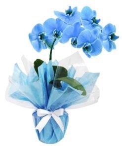 floricultura online e entrega de flores orquídea azul