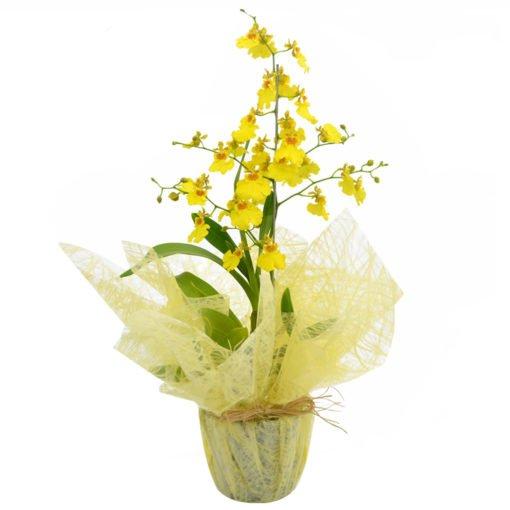 floricultura online e entrega de flores - Orquídea chuva de ouro